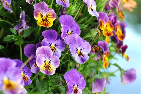 pensee signification des fleurs