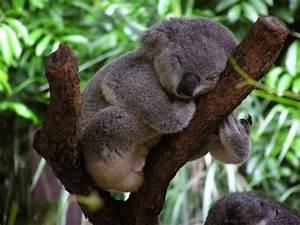 Baby Koala In Pouch - wallpaper.