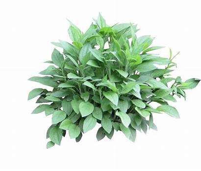 Photoshop Shrub Texture Plants Shrubs Bushes Transparent