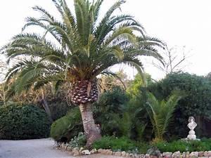 Kanarische Dattelpalme Kaufen : kanarische dattelpalme phoenix canariensis baumschule ~ Lizthompson.info Haus und Dekorationen