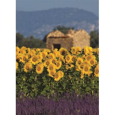 Provence France: 8-Day ItinerarySunflower fields
