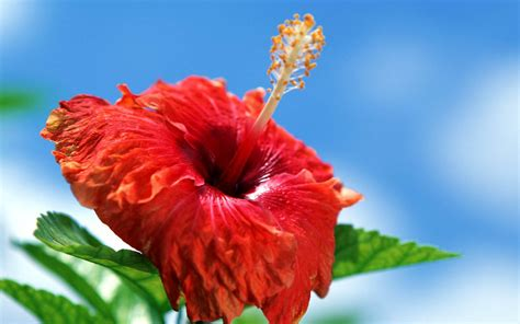 Hibiscus Flower Backgrounds by Wallpapers Hibiscus Flowers Wallpapers