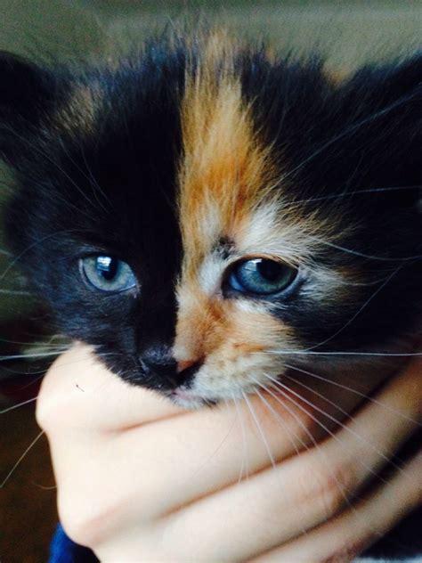 shorthair kittens for sale shorthair x polydactyl kittens for sale