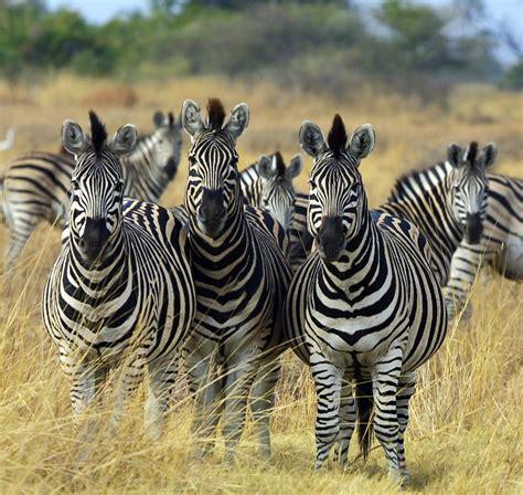 FileZebra Botswana edit02jpg  Wikimedia Commons