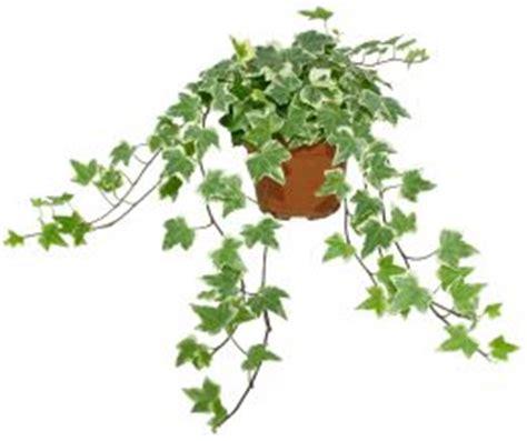 le lierre jardiner avec jean paul