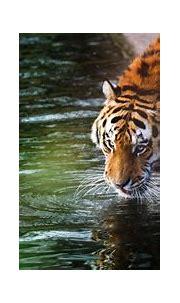 4k Tiger Wallpapers - Wallpaper Cave