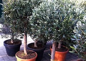 Planter Un Olivier En Pot : conseil pour planter un olivier top conseil pour planter ~ Dailycaller-alerts.com Idées de Décoration