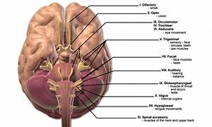 The 12 Cranial Nerves And Their Functions