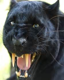 black panther cat black panther leopard blackbeauty flickr photo