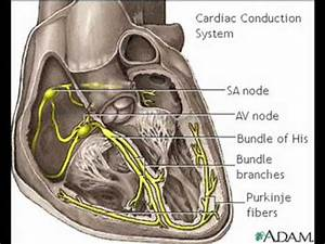 Cardiac Conduction System Anatomy Video Medlineplus