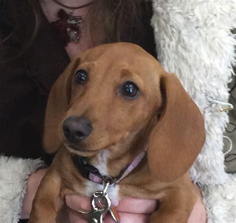 puppy dachshund month week year dogs