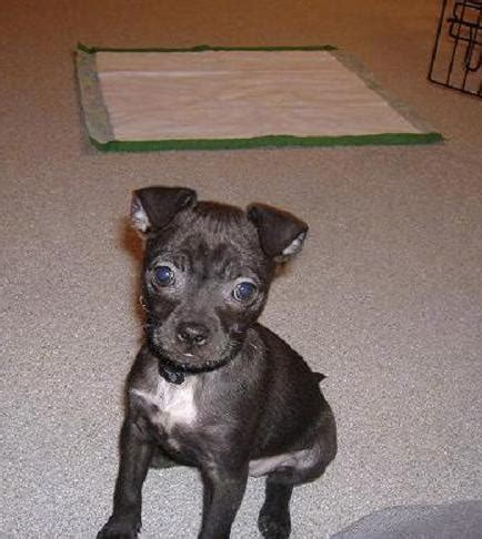 mini boxer ein hybrid boxer  boston terrier liebe pfoten