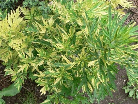 Vībotne parastā Variegata /Artemisia vulgaris Variegata ...