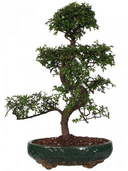 Piante Tropicali Da Interno - piante tropicali da interno ed esterno paganopiante