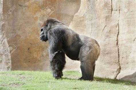 Lion Vs Gorilla