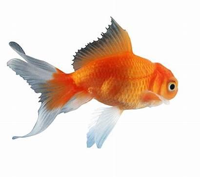 Goldfish Fish Clipart Transparent Koi Gold Golden