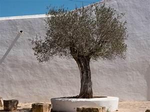 Olivenbaum Im Topf : olivenb ume schneiden schritt f r schritt schneide anleitung ~ Michelbontemps.com Haus und Dekorationen