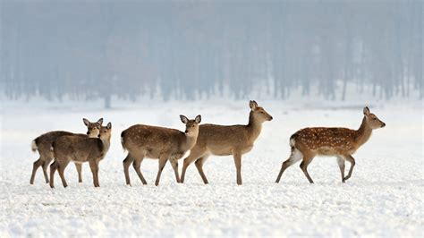 Winter Wallpaper With Animals - winter animal wallpaper 55 images
