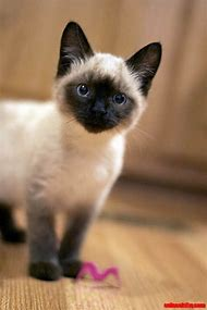 Cute Siamese Cats and Kittens