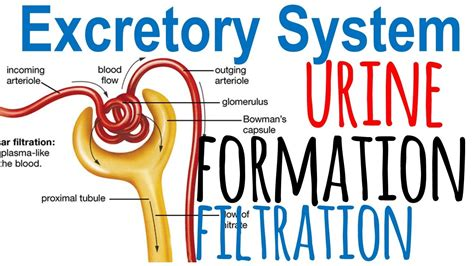 urine formation and nephron filtration youtube