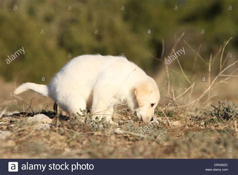 Dog Labrador Retriever Puppy Pooping Outside Stock Photo