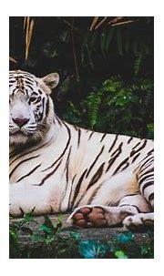 Wallpaper white tiger, 4k, Animals #15640