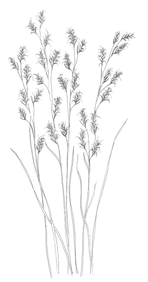 bluestem coloring sheets kansas native plant society