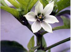 National Flower Of Liberia Pepper 123Countriescom
