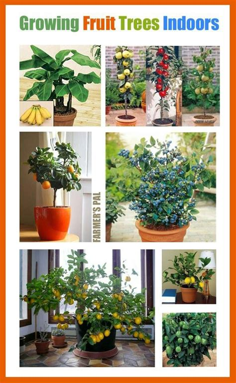 25 best ideas about indoor fruit trees on