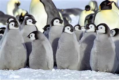 Cute Penguin Babies Baby Confession Penguins Cutest