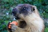 Marmot - Wikipedia
