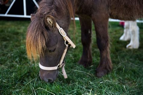 service horse animals miniature animal disability pythons trained perform qualifies specific related westword mini horses rtd expand