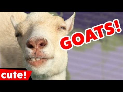 funny goat  compilation  kyoot animals youtube