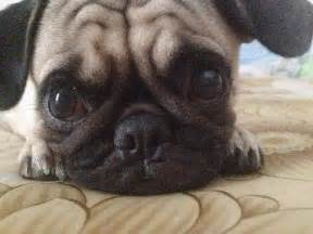 Funny and Cute Dogs Pugs