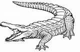Crocodile Coloring Drawings 1585 1042px 35kb sketch template