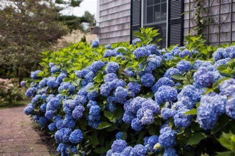 hortensie endless summer schneiden bauern hortensie garten hortensie pflanzen pflegen und schneiden mein sch 246 ner garten
