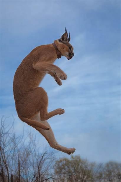 Caracal Ninja Cat Lynx Namibia Jumping Air