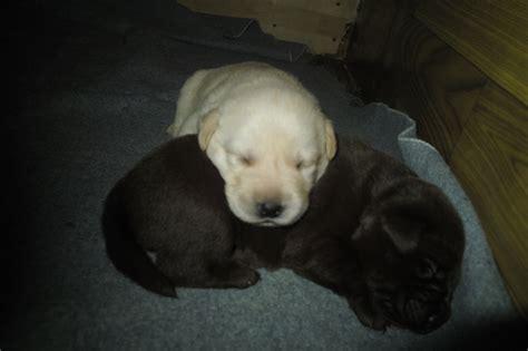 hunde rassehunde labrador tieranzeigen seite