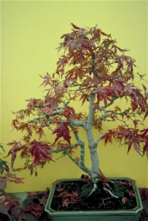 best fertilizer for japanese maple trees when to fertilize a japanese maple home guides sf gate