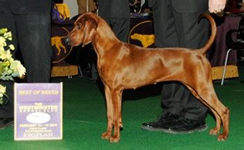 westminster  hound group   breed list doggies