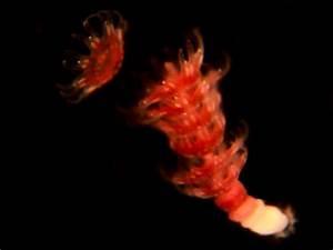 Strobilating Jellyfish on Vimeo