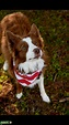 Stud Dog - Red and White Border Collie - Breed Your Dog