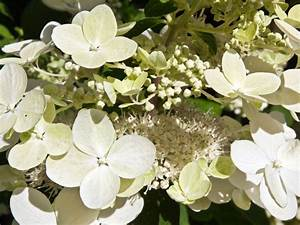 Hortensie Wims Red : rispenhortensie phantom rispenhortensie phantom hydrangea ~ Michelbontemps.com Haus und Dekorationen