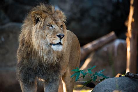 celebrate lion fun day  houston zoo