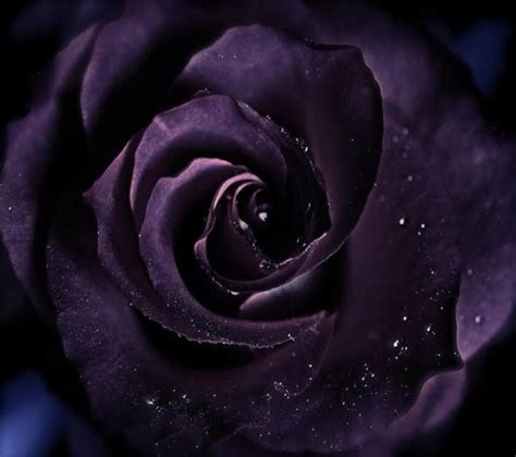Black rose phone wallpapers wallpaper. Zedge | Free downloads for your cell phone - Free your phone! | Black rose, Purple roses wallpaper