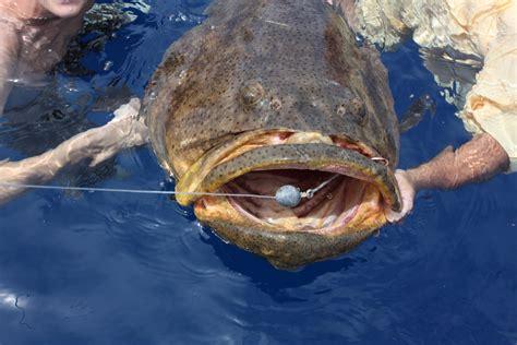 grouper goliath fish dream living charters take