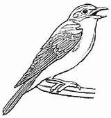 Bluebird Eastern Bird Coloring Drawing Facts Sheet Getdrawings sketch template