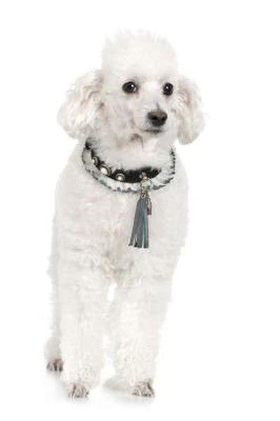 skin disorders  poodles pets