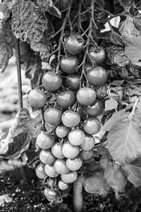 Grüne Tomaten Nachreifen : anbau von gem se u salat ~ Lizthompson.info Haus und Dekorationen