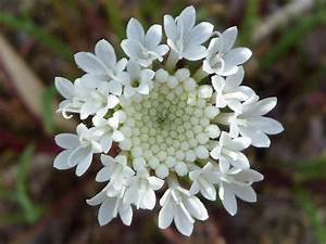 Flower cluster - pictures of Chaenactis Fremontii ...